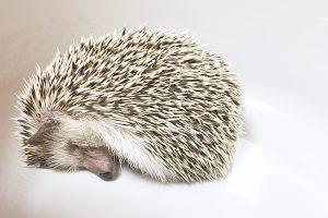 冬眠だけでなく夏眠にも注意!ハリネズミの温度管理方法
